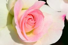ベランダ2020 5月 薔薇①