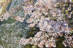 徳力2020 志井川 小さな花筏製造木