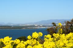 能古島2020 菜の花④