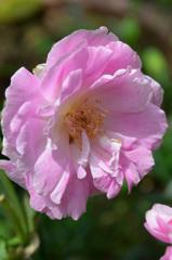 ベランダ2020 5月 薔薇⑤
