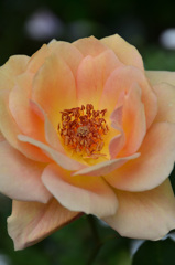 ベランダ2020 5月 薔薇⑧