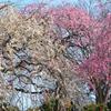 農事センター2021 2月-2 枝垂れ紅白梅