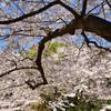 足立公園2020 春 桜①