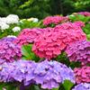 もととりアジサイ園2021 6月 紫陽花①