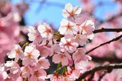 白野江2021 3月 河津桜