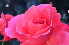 グリーンパーク2020 5月薔薇-2 アルティッシモ