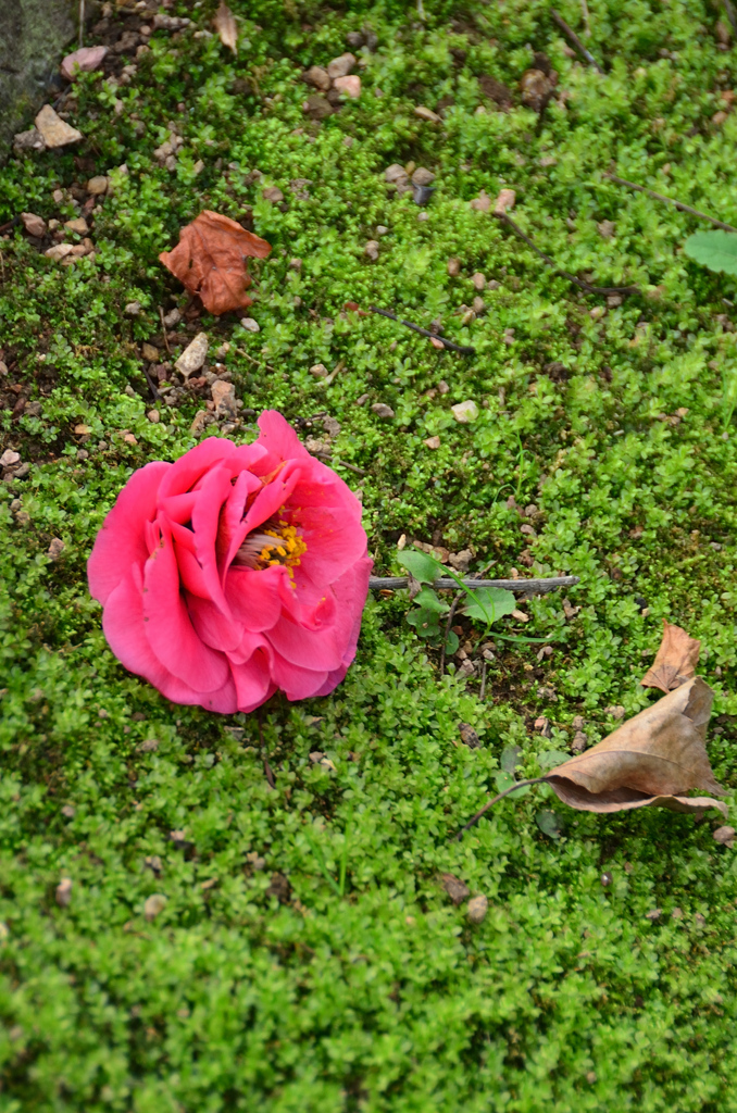 白野江2021 2月 苔の小径 落花椿②
