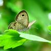 白野江2021 7月-6 ヒメウラナミジャノメ蝶①