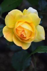 ベランダ2020 5月 薔薇④