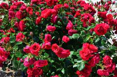 グリーンパーク2020 5月薔薇-1 クリムゾンスカイ