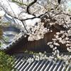 小倉城2021 3月 下屋敷庭園 桜①