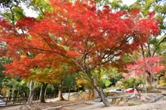 奈良公園の紅葉03
