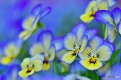 青い奇麗な花・君の名は・・パンジー ビオラ
