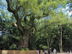熱田神宮の大楠