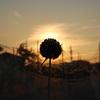 アリウム・ギガンチウム日食