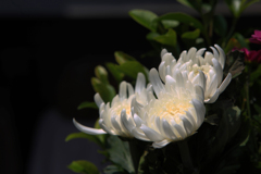可睡斎2 花弁のグラデーション