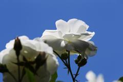 青空に映えるバラ