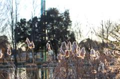 冬のガマの穂