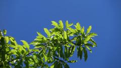コナラ新緑