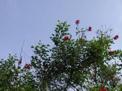 金門島 鳳凰木