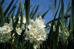 春の訪れ 水仙 2
