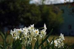 春の訪れ 水仙 3