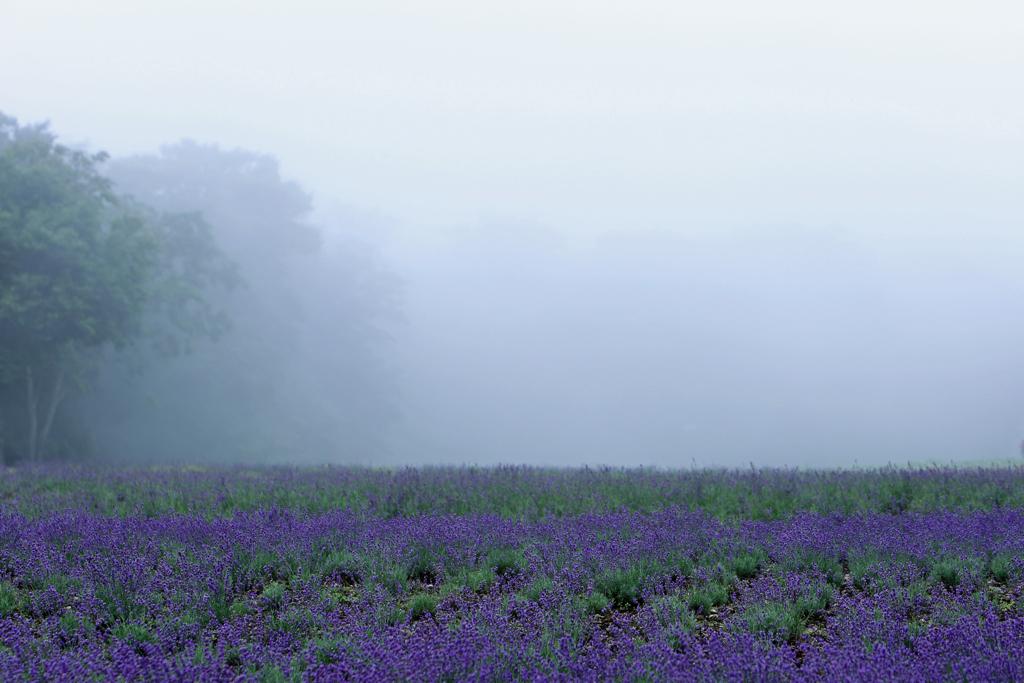 霧のたんばらラベンダーパーク