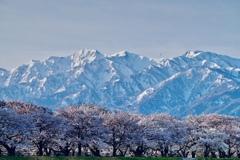 舟川べり桜並木と朝日岳