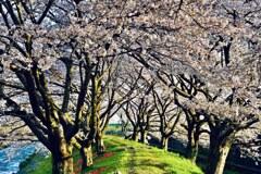舟川べりの桜朝日を浴びて