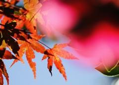 紅葉から椿へ