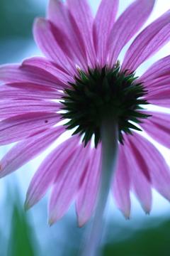 花びらパラソル