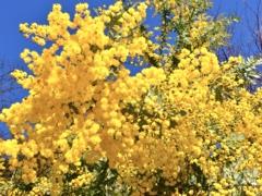 ミモザ・鮮やかな黄色