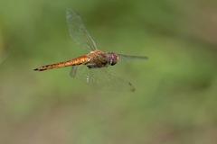 ウスバキトンボの飛翔
