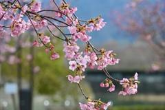 河津桜咲き始めました^^