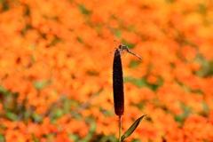 秋色に染るトンボ