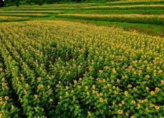 大きな向日葵畑