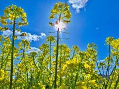 菜の花・逆光に映える