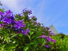 聖堂を隠す紫陽花