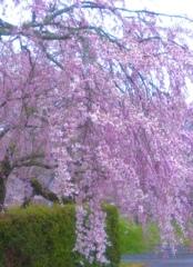 豪華な枝垂れ桜