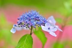 紫陽花と皐月