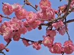 梅の花満開〜‼︎