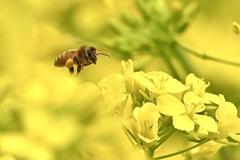 ミツバチハッチご帰還