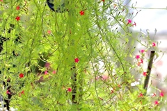ルコウソウ咲く