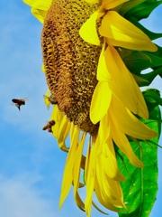夏空に咲く向日葵