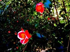 名残のツバキ・最後まで綺麗に咲いてます‼︎