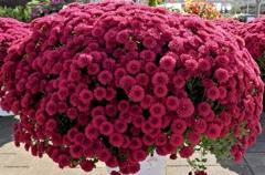 華麗に咲く菊鉢