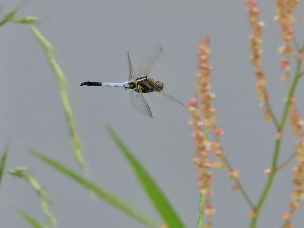 草の間を飛ぶトンボ