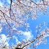 青空に映える桜
