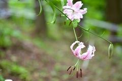 ひっそり咲くカノコユリ