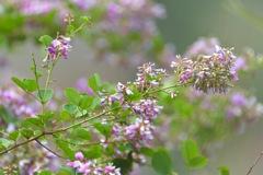 萩の花満開